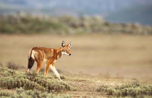 Canis simensis nel suo habitat naturale.
