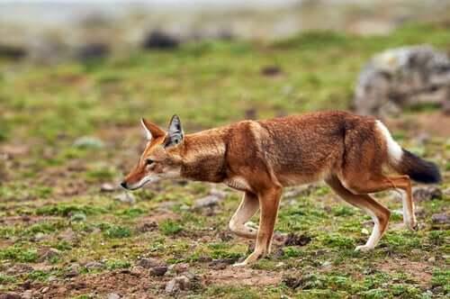 Lupo etiope che caccia.