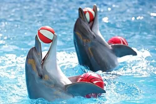 Delfini che giocano con delle palle durante uno spettacolo acquatico.