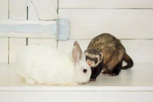 La muta in conigli e furetti: come avviene?