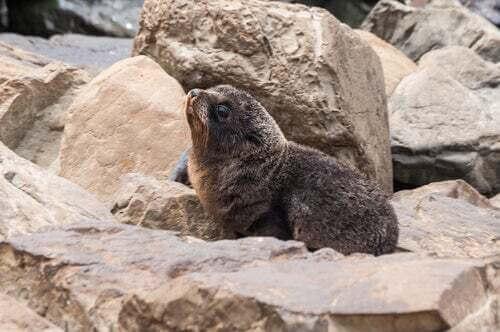 Leone marino della Nuova Zelanda (Arctophoca fosteri).