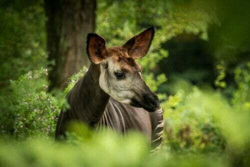 Okapi: un fossile vivente a metà tra una giraffa e una zebra