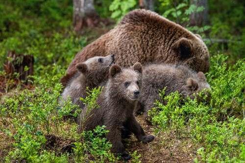 Famiglia di orsi.
