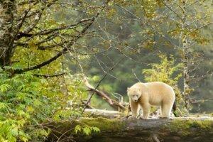 L'orso Kermode, lo spirito della foresta