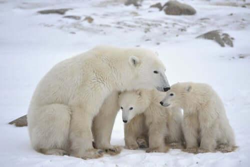 Cuccioli di orso polare con la madre.