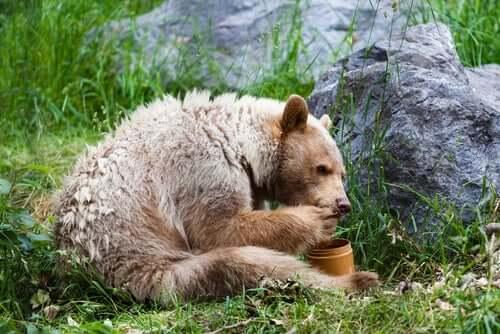 Orso Kermode che mangia.