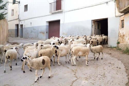 Razze ovine italiane: scopriamone alcune