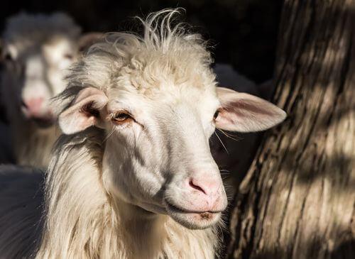 Razze ovine: pecora sarda.
