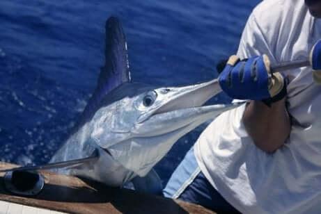 Uomo pesca un pesce spada al largo su una barca.