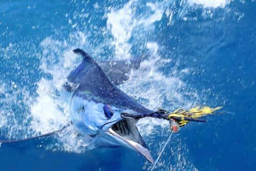 Pesce spada sta per essere pescato.