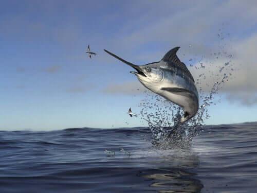 Pesce spada: cosa mangia e di quali problemi soffre