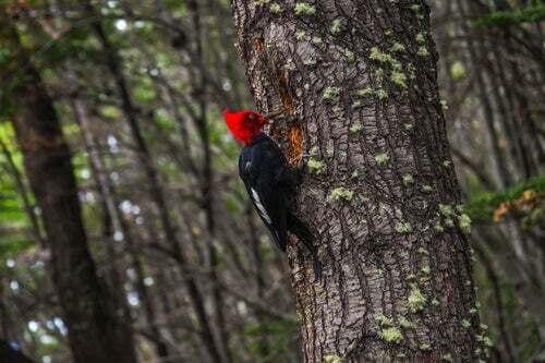 Picchio sulla corteccia di un albero.