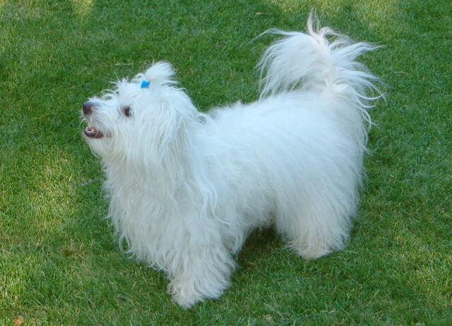 Piccolo cane bianco a pelo lungo.