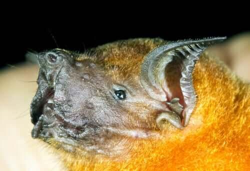 Pipistrello pescatore: un mammifero volante bruttino ma socievole