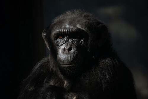 Primo piano di uno scimpanzè.