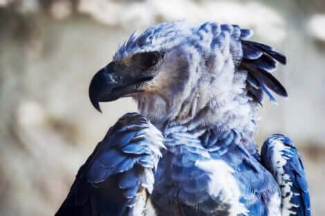 Aquila arpia dal caratteristico piumaggio.