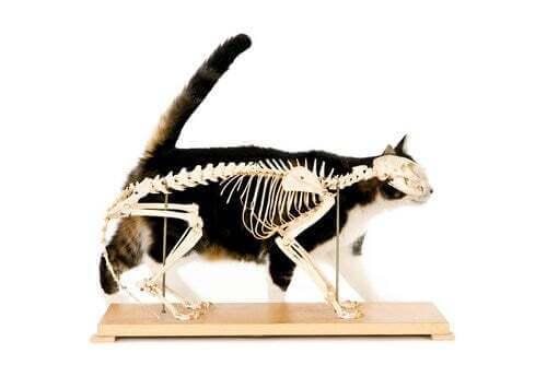 Radiografia di un gatto.