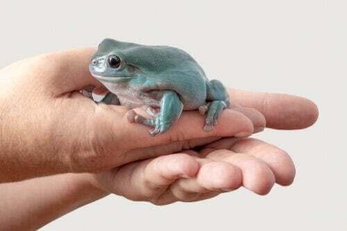 Raganella cerulea australiana: un anfibio tenerissimo