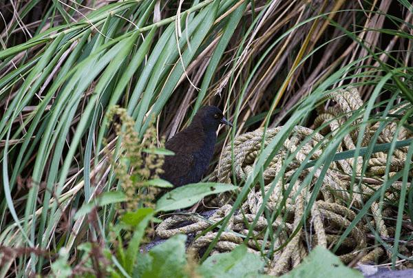 Rallo dell'isola inaccessibile tra le foglie.