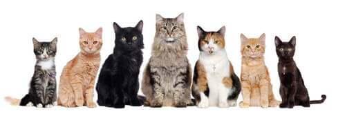 Quante razze di gatti esistono al mondo?