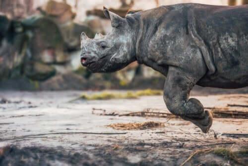 Esemplare di rinoceronte corridore.