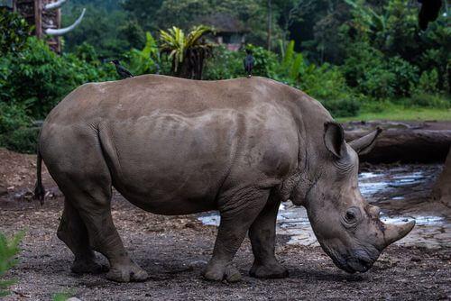 Rinoceronte di Giava mangiando.