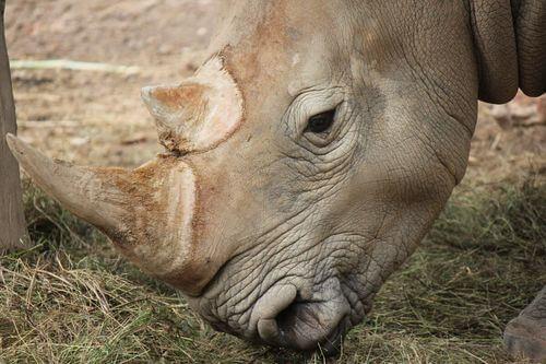 Rinoceronte di Giava, dettaglio della sua testa.