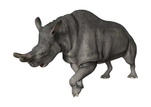 Il corno del rinoceronte tuono era arrotondato.
