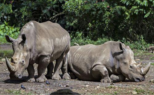 Rinoceronte di Giava: un rarissimo gigante erbivoro