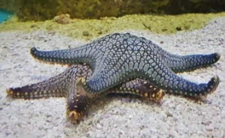 Riproduzione sessuata nelle stelle marine in fondo al mare.