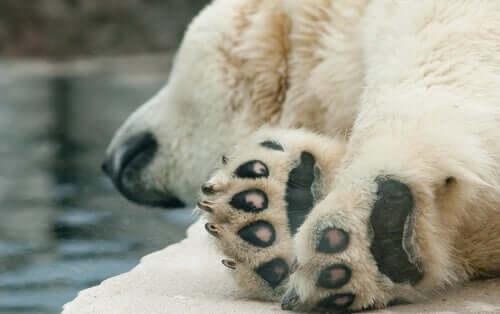 Zampe orso polare.