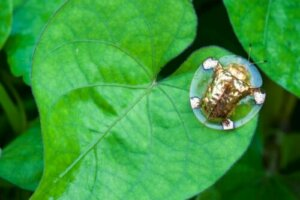 Lo scarabeo tartaruga d'oro, un artropode davvero curioso
