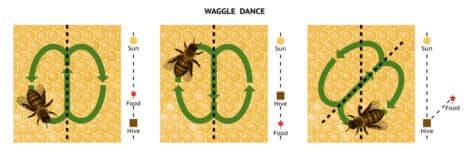 Schema della danza delle api.
