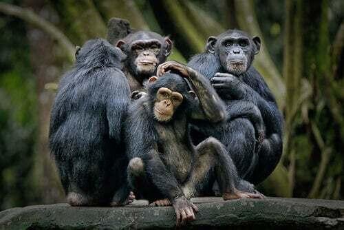 Struttura sociale negli scimpanzé. Gerarchia animali.