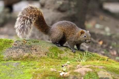 Esemplare di scoiattolo di pallas.