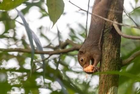 Esemplare di scoiattolo orientale scende giù da un albero.