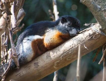 Esemplare di scoiattolo di Prevost che si arrampica su un albero.