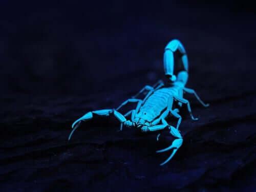 Scorpione blu al buio.