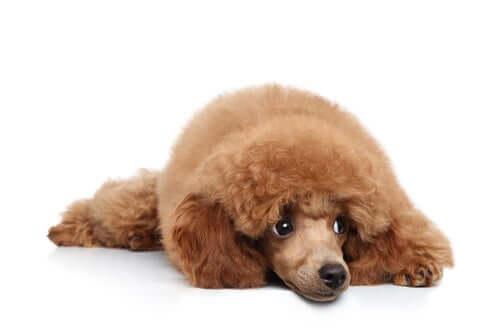 Sintomi di orchite nei cani.