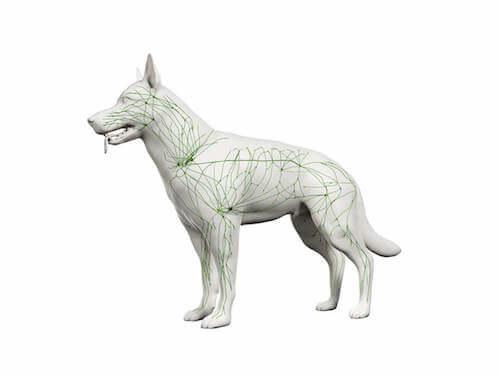 Sistema linfatico del cane.