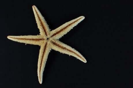 Stella marina con cinque braccia su sfondo nero.