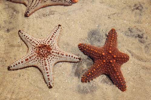 La rigenerazione della stella marina: il segreto della vita?