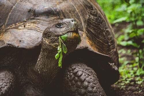 La tartaruga gigante delle isole Galapagos
