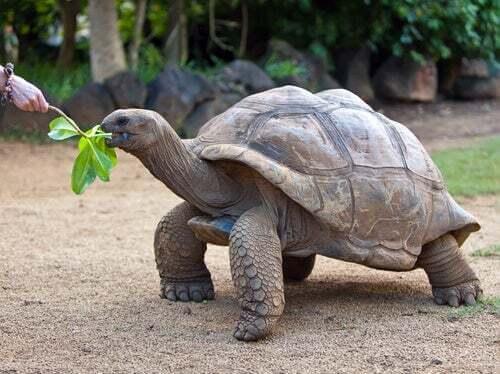 Tartaruga che mangia.