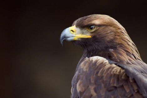 Aquila reale.