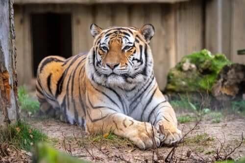 Tigre all'interno di un recinto in uno zoo.