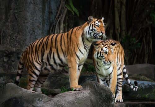 Due tigri in uno zoo.