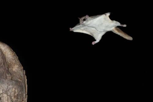 Pipistrello, tipo di mammifero volante.