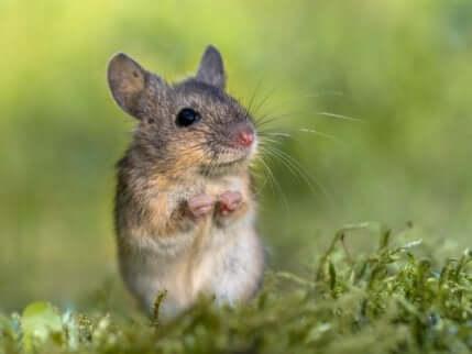 I topi canterini vivono nei boschi dell'America centrale.