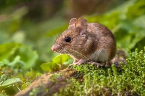 I topi canterini potrebbero aiutarci a comprendere l'autismo